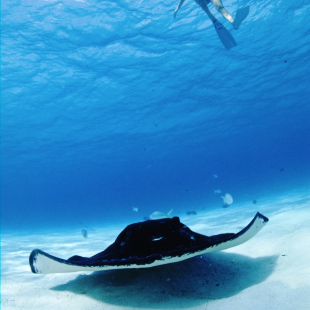 """""""stingray and snorkel diver"""" stock image"""