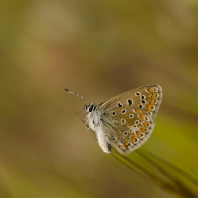 """Common Blue, Polyommatus icarus"" stock image"