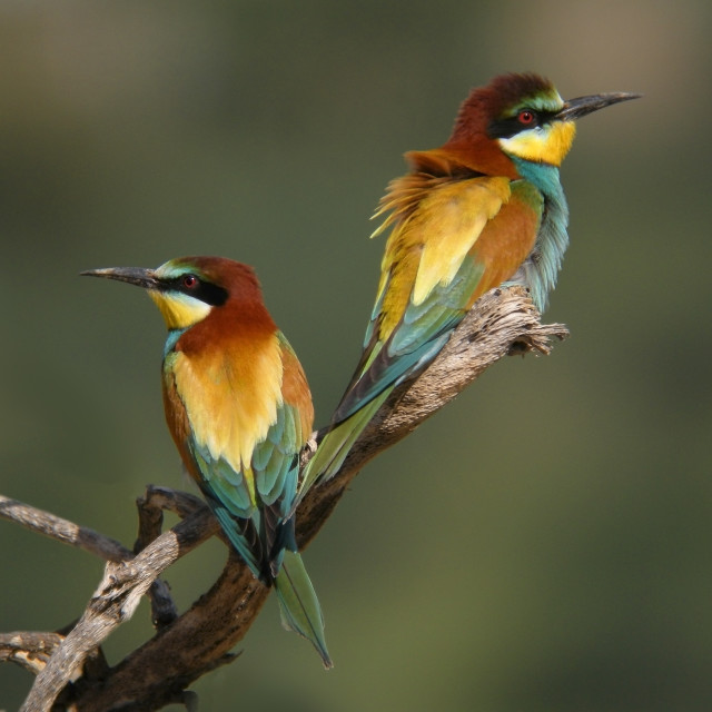 """Bee-eaters, Merops apiaster"" stock image"