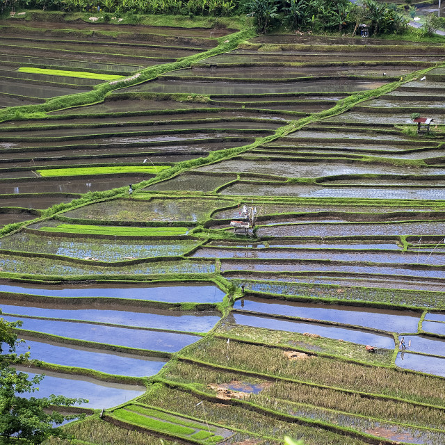 """Rice fields in Bali from above"" stock image"