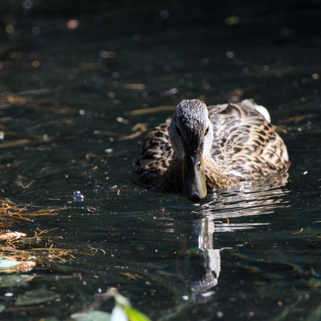 """""""Female duck wading in water"""" stock image"""