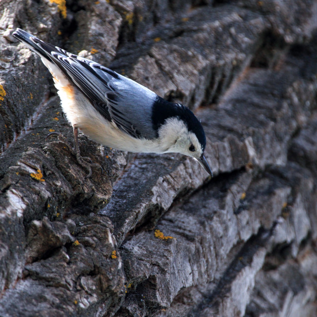 """""""The """"General"""" Nuthatch"""" stock image"""