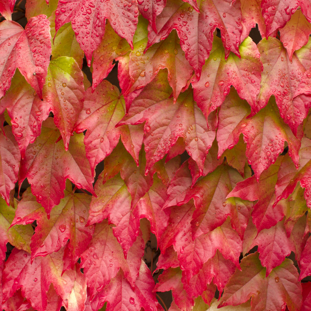 """Red autumn leaves"" stock image"