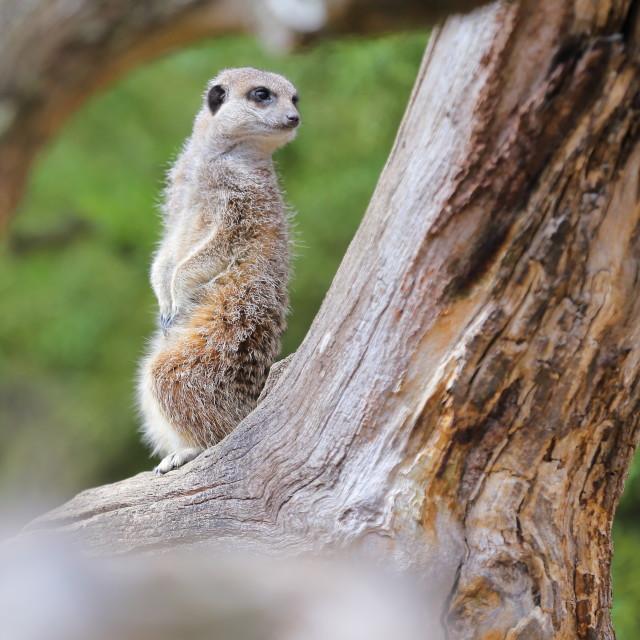 """""""Meerkat"""" stock image"""