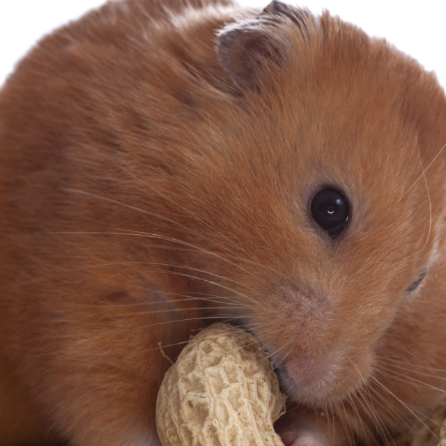 """Hamster eating peanuts"" stock image"