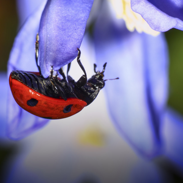 """ladybird on a chionodoxa flower"" stock image"