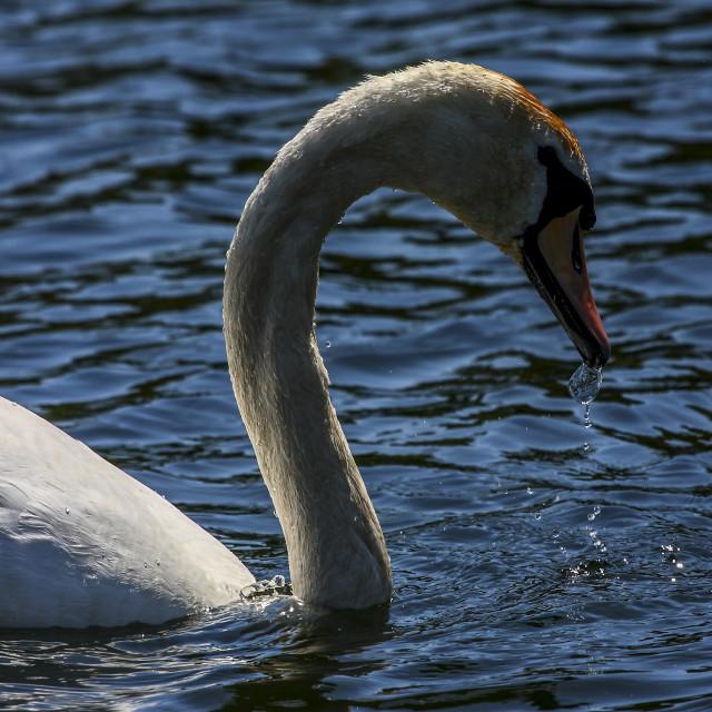 """Mute swan drinking water"" stock image"