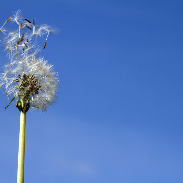 """Dandelion on a windy day"" stock image"