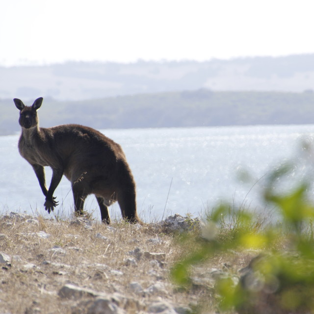 """Coastal roo"" stock image"