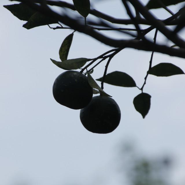 """Limes"" stock image"