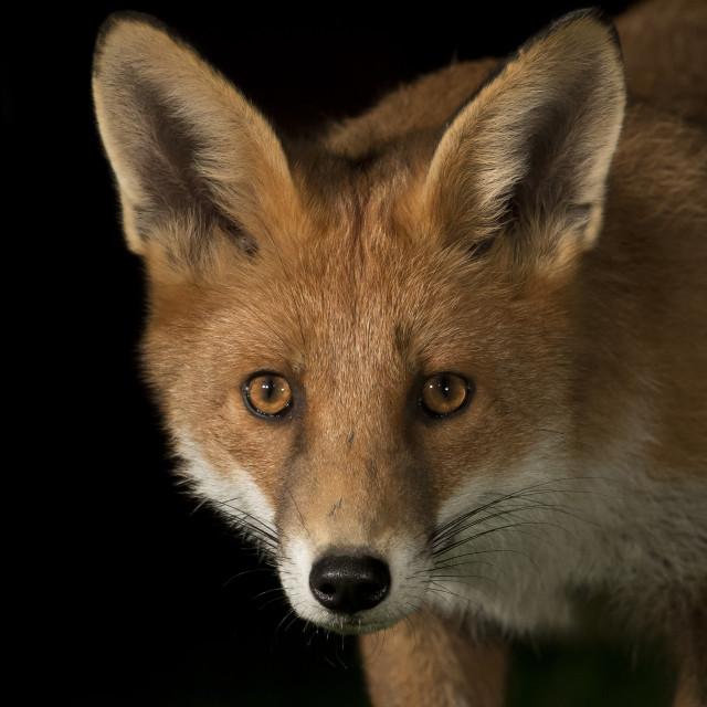 """""""Red Fox night shot"""" stock image"""