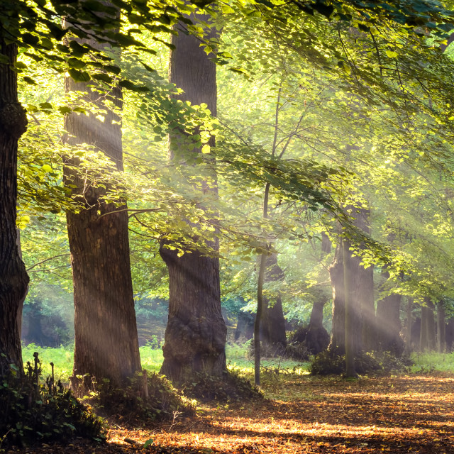 """""""sun rays in the forest"""" stock image"""