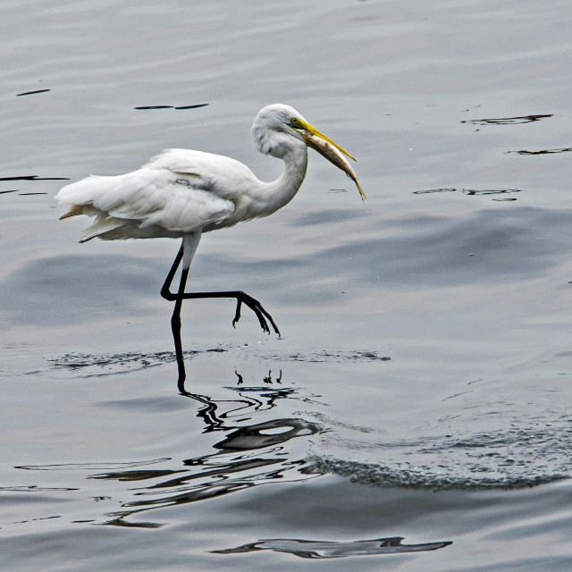 """Great Egret (Ardea alba)(XXIII)"" stock image"