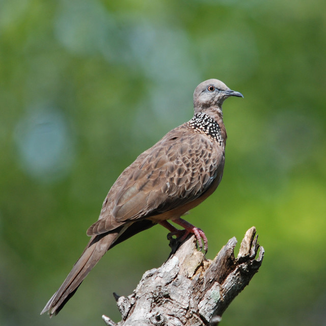 """spotted dove, Spilopelia chinensis"" stock image"