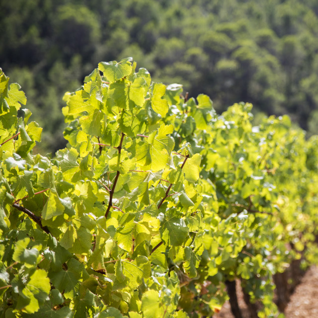 """Vineyard in Provence"" stock image"
