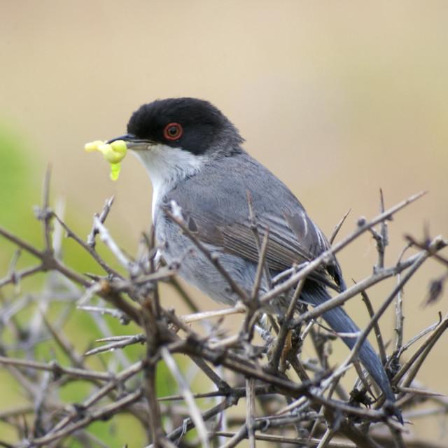 """""""Sardinian warbler"""" stock image"""