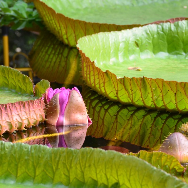 """Giant Lily Pad Flower"" stock image"