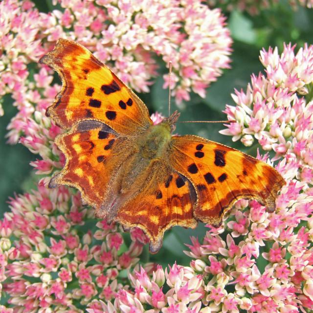 """Comma (Nymphalis c-album or Polygonia c-album) butterfly on pink Sedum plant"" stock image"