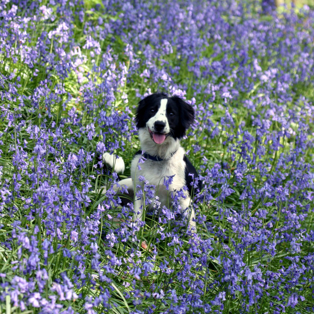 """""""Molly the Border Collie sitting in a patch of Bluebells at Target Wood, Talke, Stoke-on-Trent, Staffordshire. Photo by John Keates"""" stock image"""