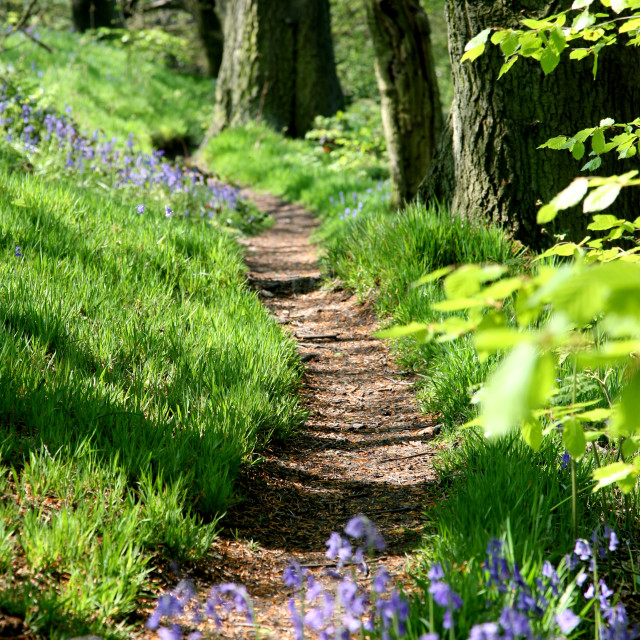 """English Bluebell wood"" stock image"