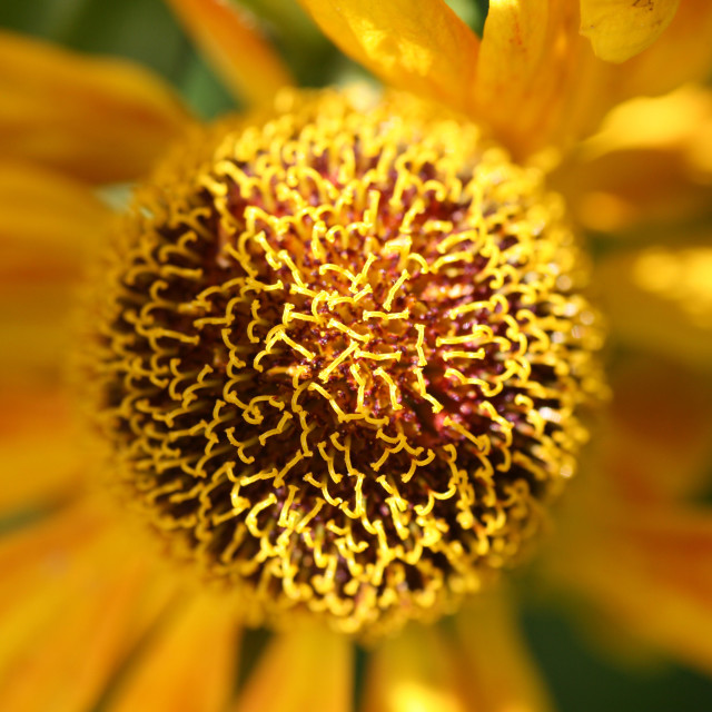 """""""Close up of a helianthus flower"""" stock image"""