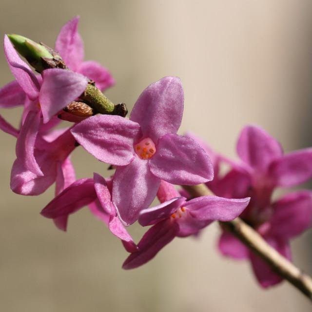 """Pink Daphne mezereum flowers"" stock image"