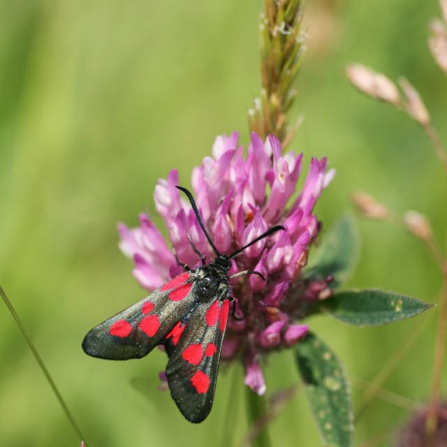 """Five-Spot Burnet Moth"" stock image"