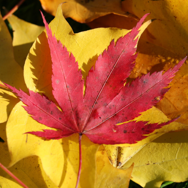 """""""red Maple or Acer leaf"""" stock image"""