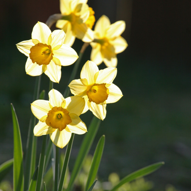 """Daffodils in the spring sun"" stock image"