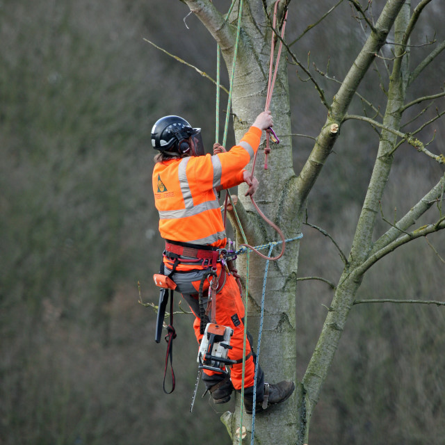 """Tree surgeon working up a tree"" stock image"