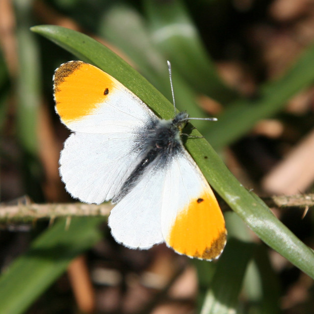 """An Orange Tip Butterfly"" stock image"