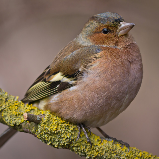 """""""Finch male"""" stock image"""
