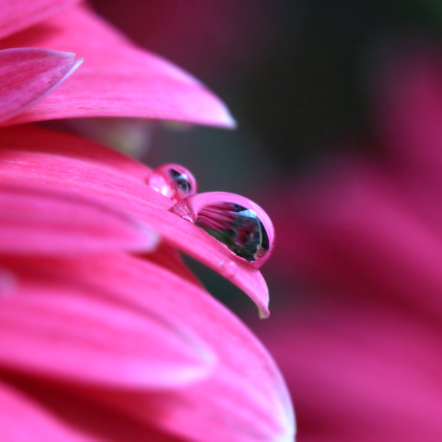 """Droplet on a petal"" stock image"