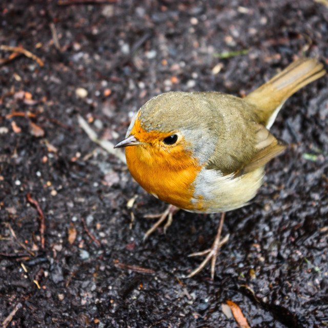 """Robin bird"" stock image"