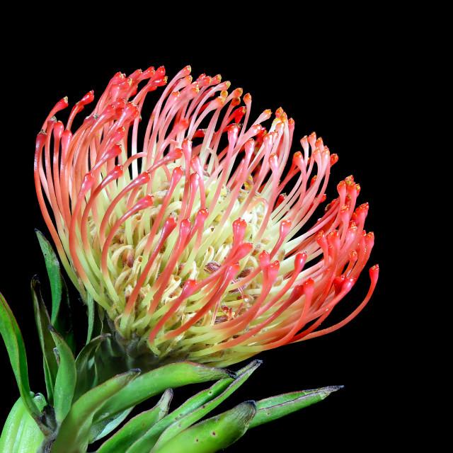"""Protea Pincushion"" stock image"