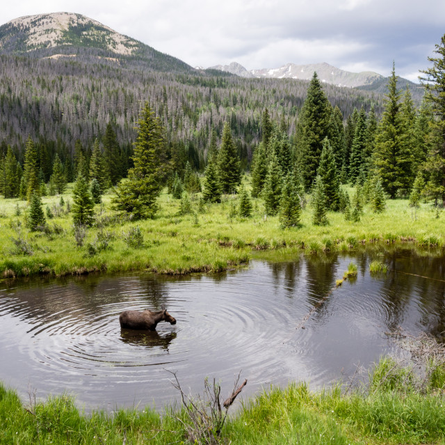"""Moose in the pond"" stock image"