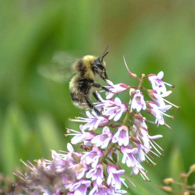 """""""Buzzing bee"""" stock image"""