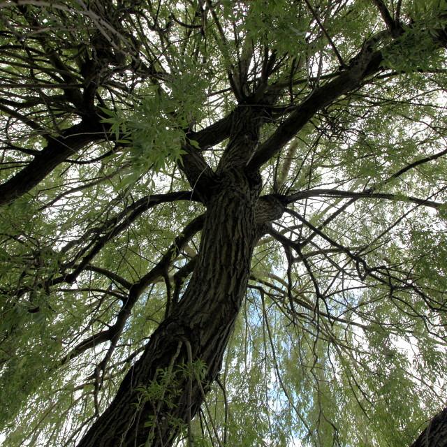 """Inside a salix tree"" stock image"