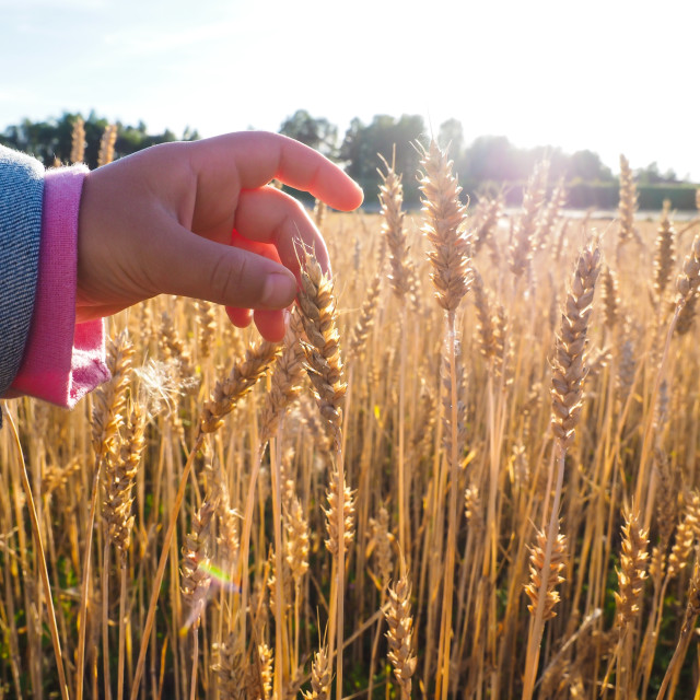 """Child touchin wheat grain on a field at close up at daylight"" stock image"