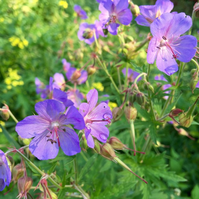"""""""Violet flowers on the meadowland"""" stock image"""