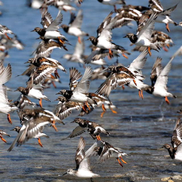 """Turnstones in flight"" stock image"