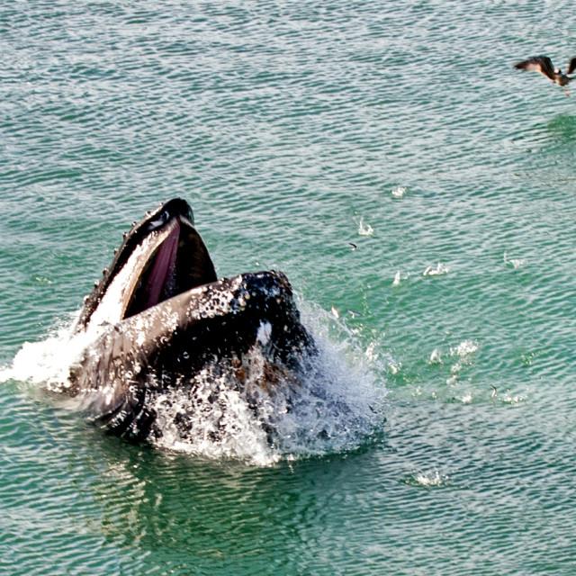 """""""Juvenile Humpback Whale"""" stock image"""
