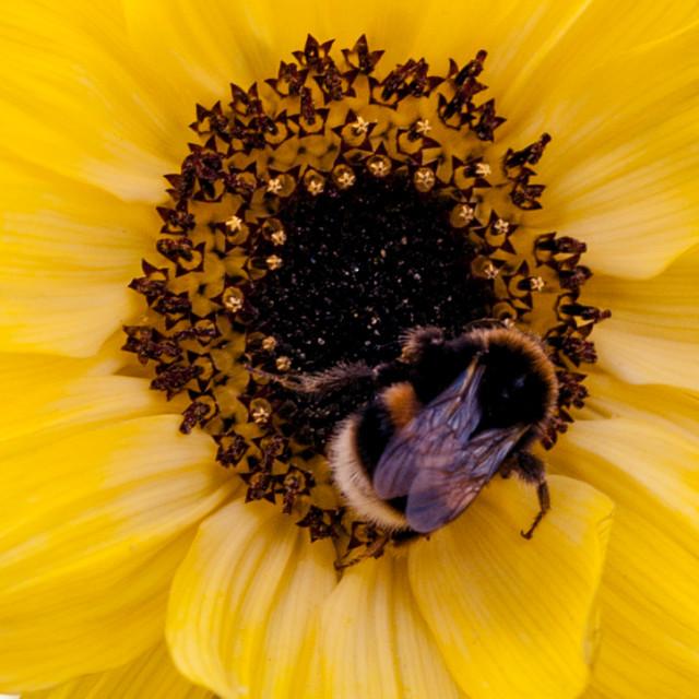 """Bee on Sunflower"" stock image"