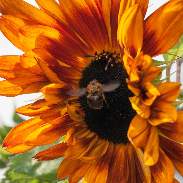 """Bee landing on sunflower"" stock image"