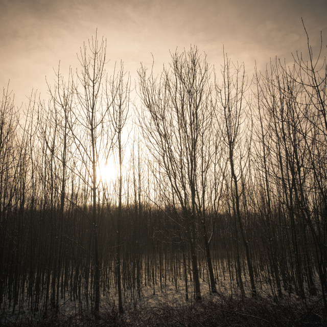 """""""Ethereal Trees"""" stock image"""