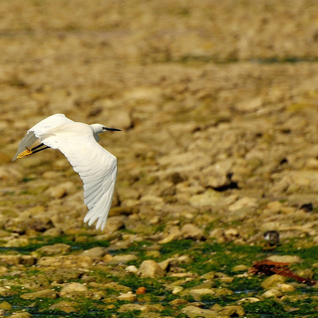 """An Egret in flight"" stock image"