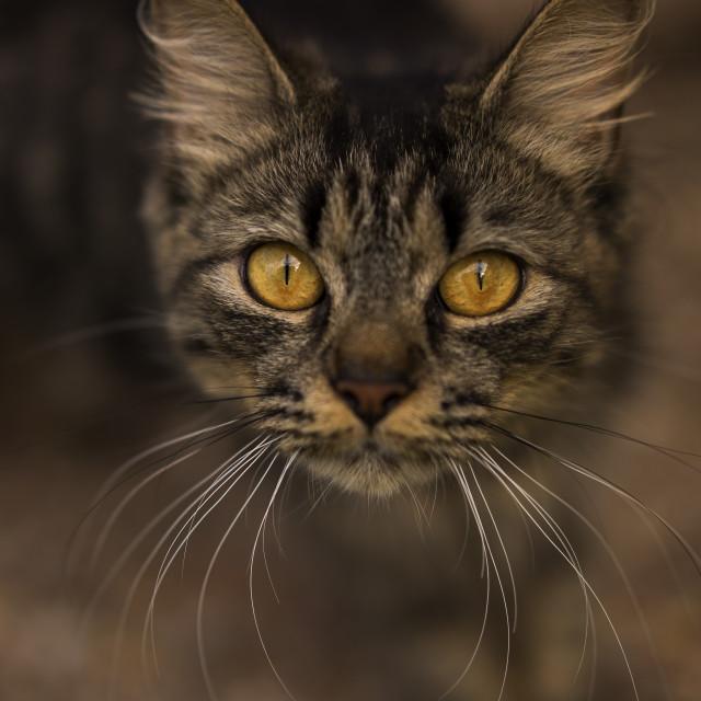 """Tabby cat"" stock image"