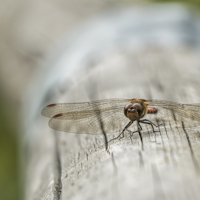 """Dragonfly resting on a log"" stock image"