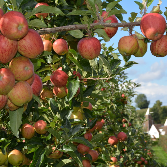 """""""Apples On Trees"""" stock image"""