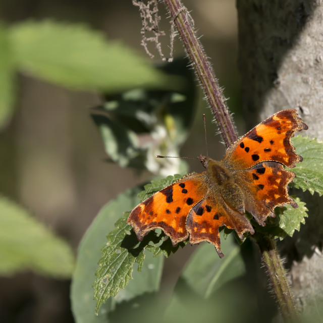 """""""Comma Butterfly 1."""" stock image"""
